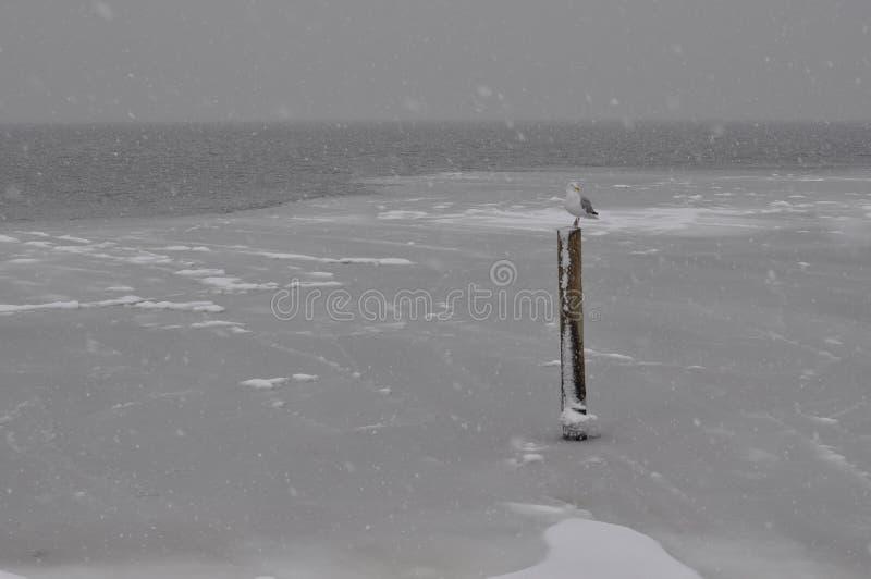 Zeemeeuw in Sneeuw stock fotografie
