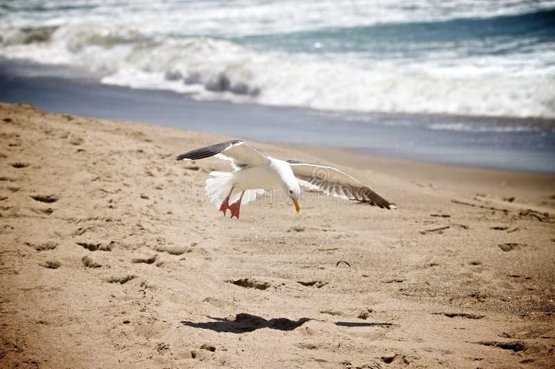 Zeemeeuw-strand royalty-vrije stock afbeeldingen