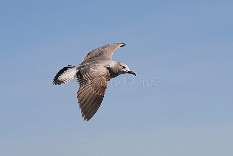 Zeemeeuw tijdens de vlucht met uitgespreide vleugels stock foto
