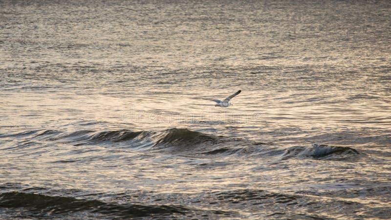Zeemeeuw tijdens de vlucht over water stock afbeelding