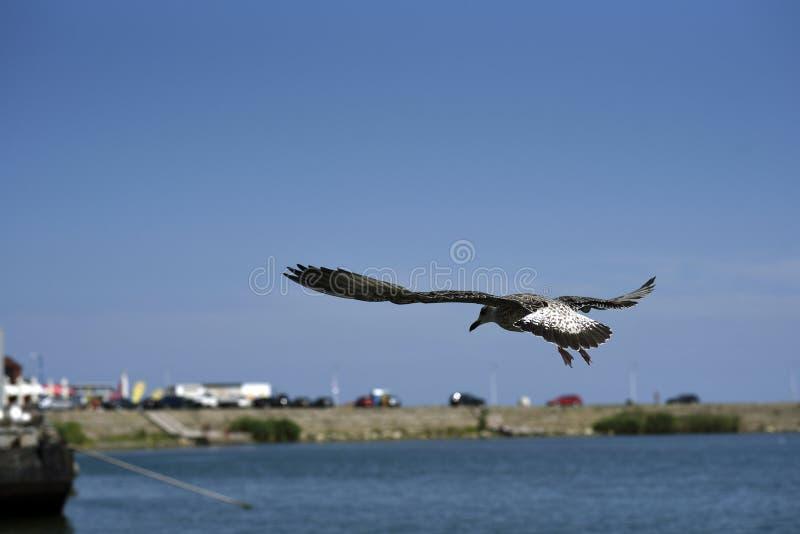 Zeemeeuw tijdens de vlucht tegen een blauwe hemel stock foto