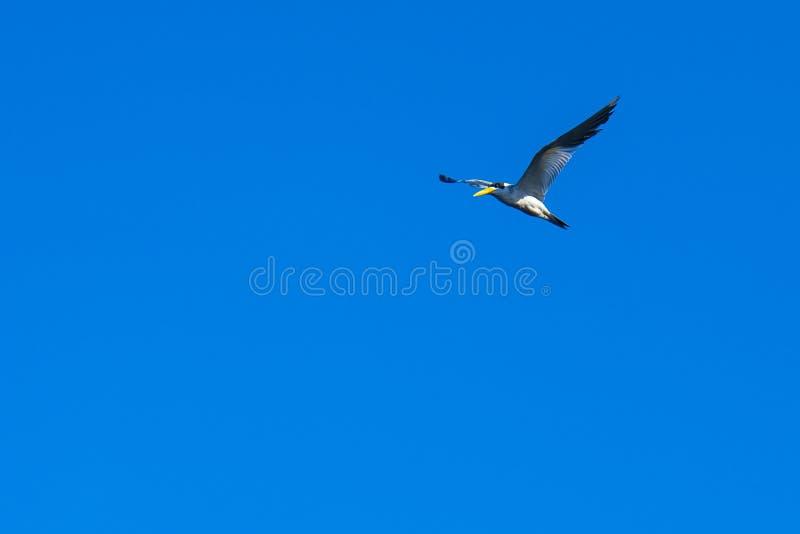 Zeemeeuw uit de Amazone tegen een duidelijke blauwe hemel, iquitos, Peru royalty-vrije stock fotografie