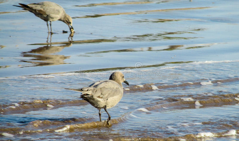 Zeemeeuw in water royalty-vrije stock fotografie
