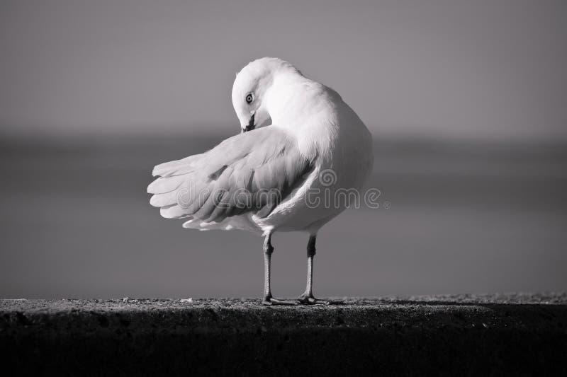 Zeemeeuw in zwart-wit stock fotografie