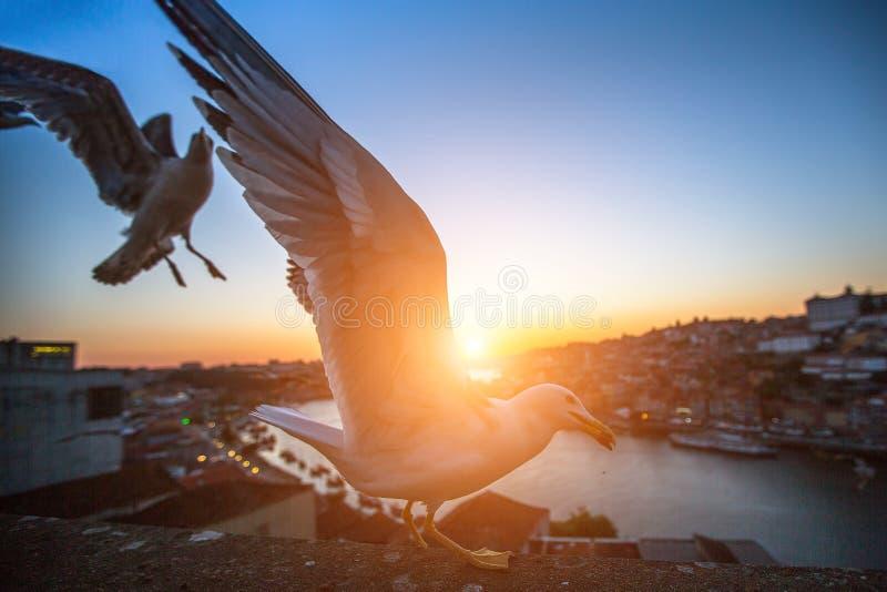 Zeemeeuwclose-up op achtergrond van de oude stad van Porto bij zonsondergang stock afbeelding
