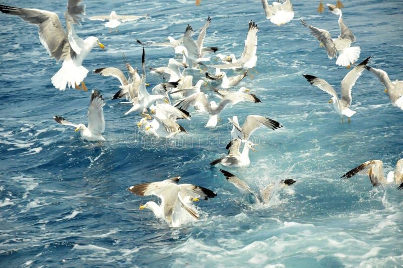 Zeemeeuwen stock afbeeldingen