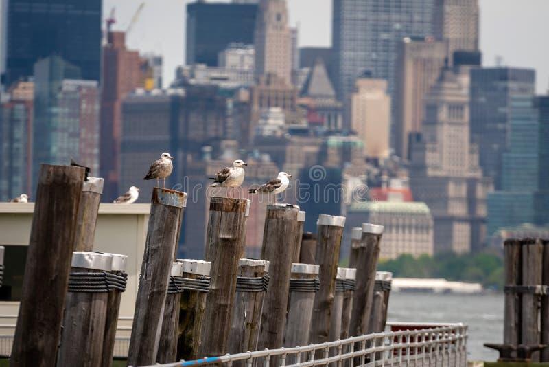Zeemeeuwen bij het Oude Veerbootdok op Liberty Island dichtbij de Stad van New York, de V.S. - Beeld royalty-vrije stock foto