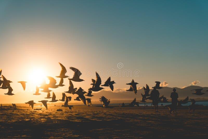 Zeemeeuwen bij zonsondergang op strand royalty-vrije stock afbeeldingen