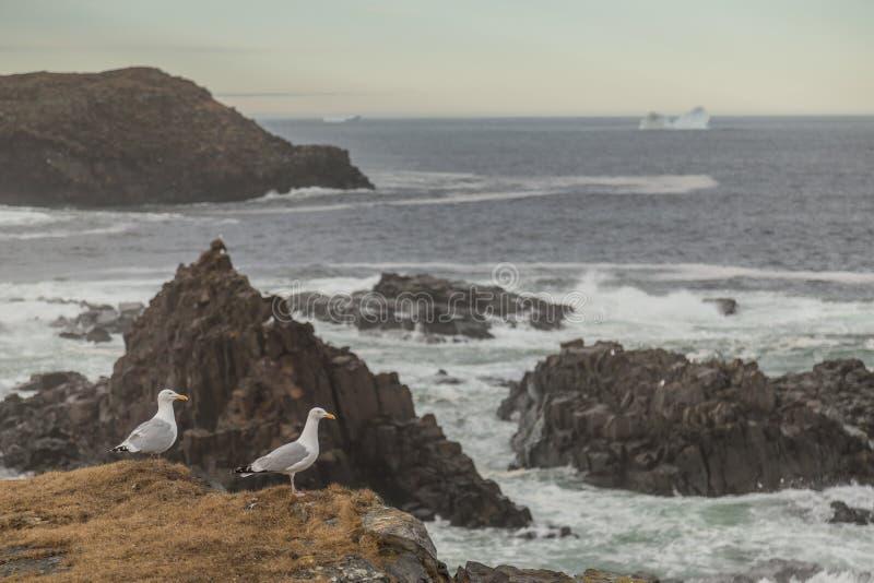 Zeemeeuwen Cliffside en Ijsberg stock afbeelding