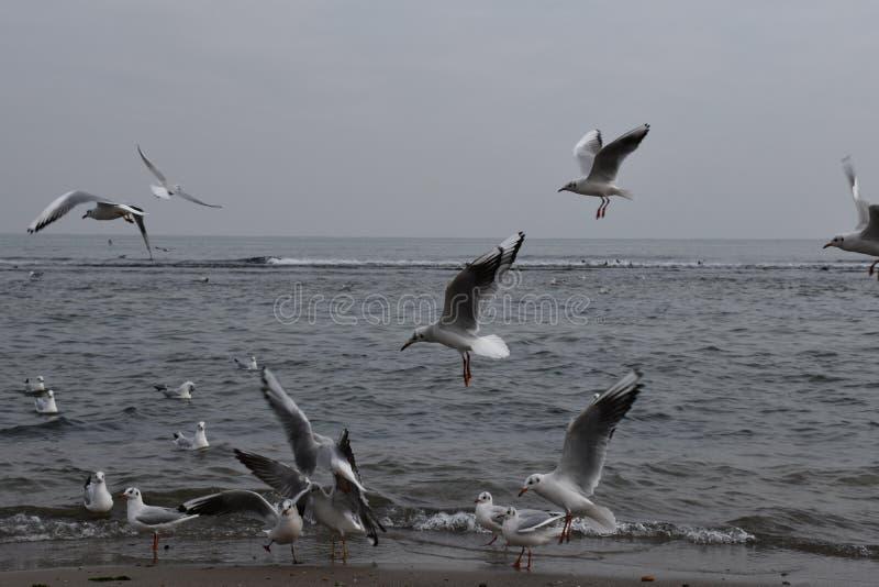 Zeemeeuwen in de Zwarte Zee, grijs weer, het vliegen royalty-vrije stock foto