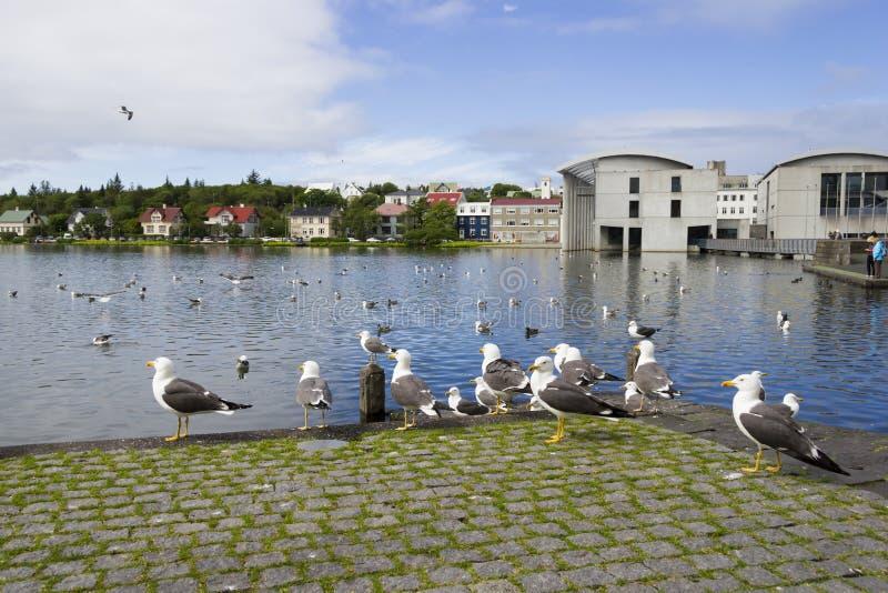 Zeemeeuwen dichtbij een vijver in het centrum van Reykjavik royalty-vrije stock foto's