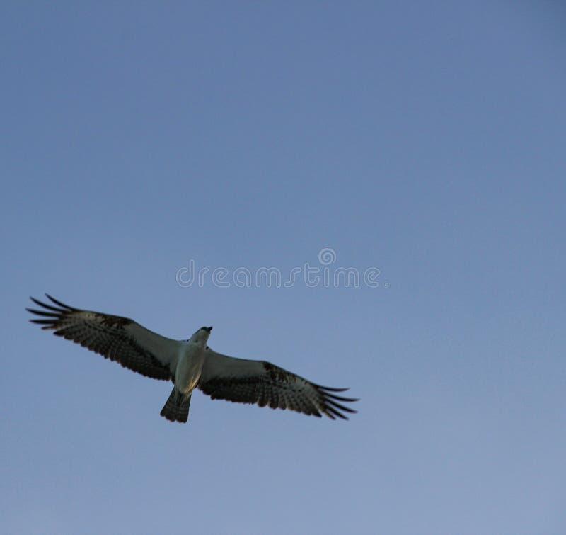 Zeemeeuwen die bij de hemel vliegen stock fotografie