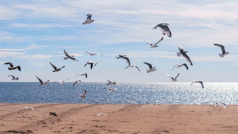 Zeemeeuwen die in de lucht op het oceaanstrand vliegen stock afbeelding