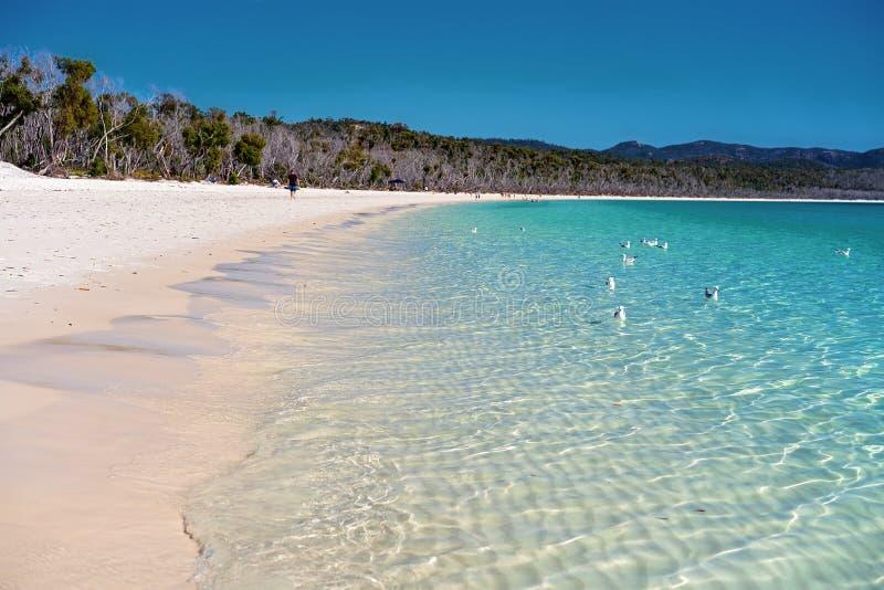 Zeemeeuwen die in het Duidelijke Blauwe Water van een Wit Strand van het Kiezelzuurzand in Pinksterennen Australië zwemmen stock afbeelding