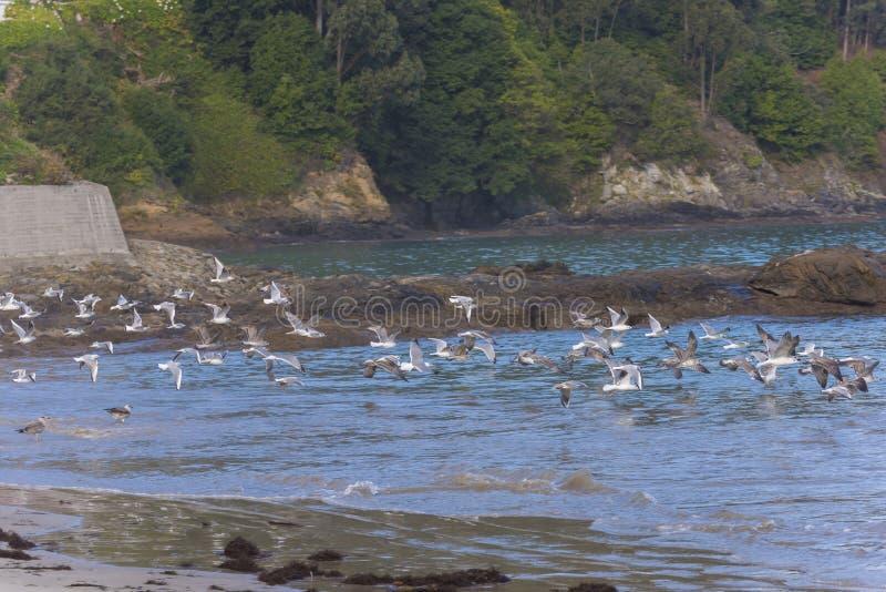 Zeemeeuwen die in het overzees vliegen stock foto