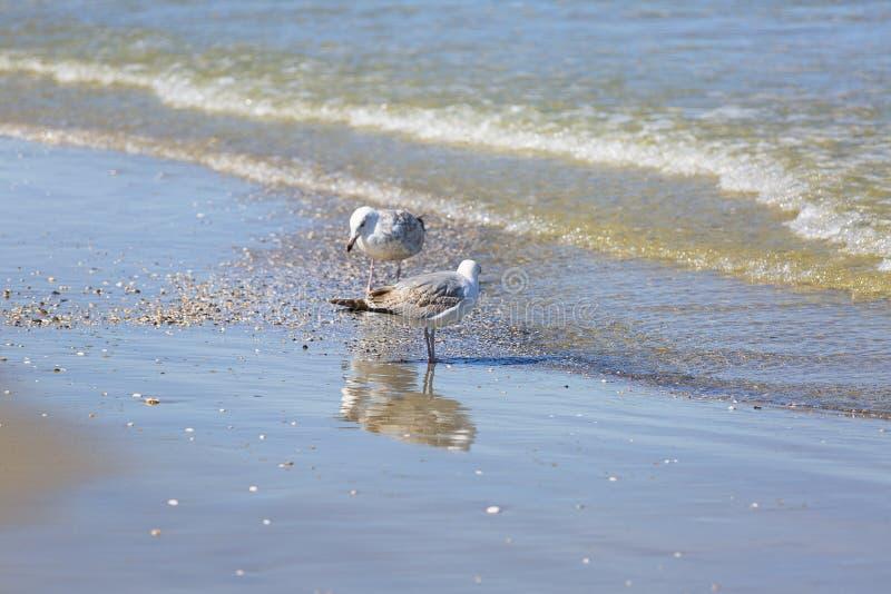 Zeemeeuwen die in het zeewater op een zandig strand, zeegezicht lopen royalty-vrije stock foto's