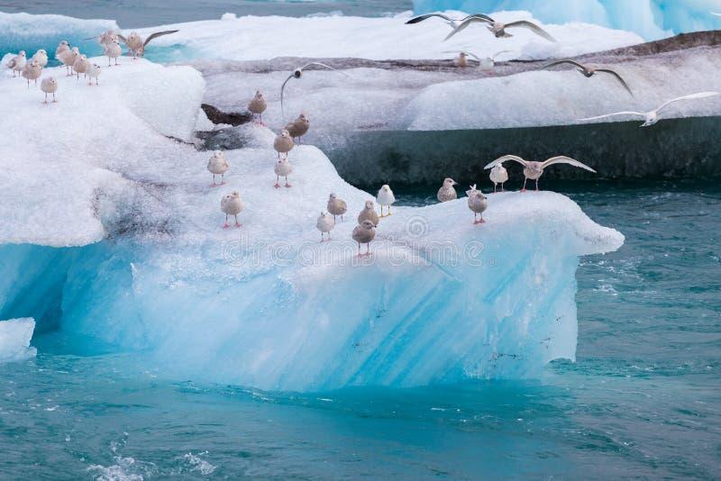 Zeemeeuwen die, het zitten, landende vleugels op blauwe ijsberg rusten stock afbeeldingen
