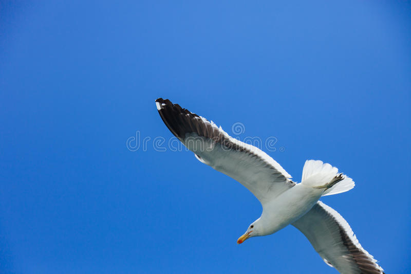 Zeemeeuwen die hoog in de blauwe lucht vliegen, die hun vleugels over Th golven stock fotografie