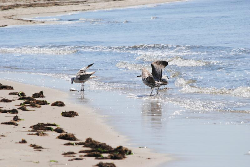 Zeemeeuwen die op de baai voeden stock afbeeldingen