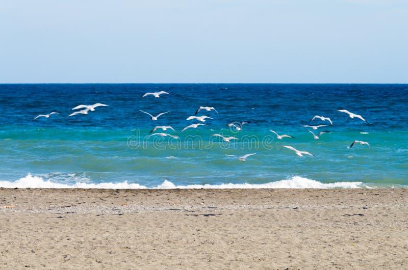 zeemeeuwen die op de kust opstijgen stock afbeeldingen