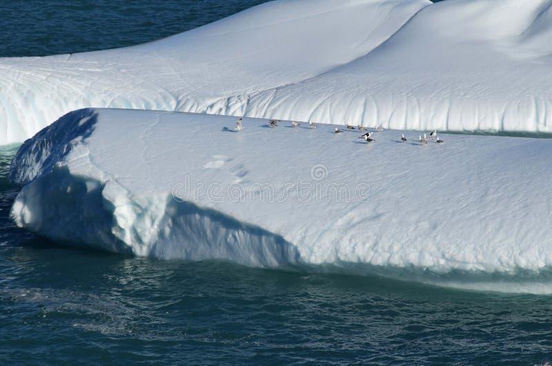 Zeemeeuwen die op een ijsberg rusten royalty-vrije stock afbeeldingen