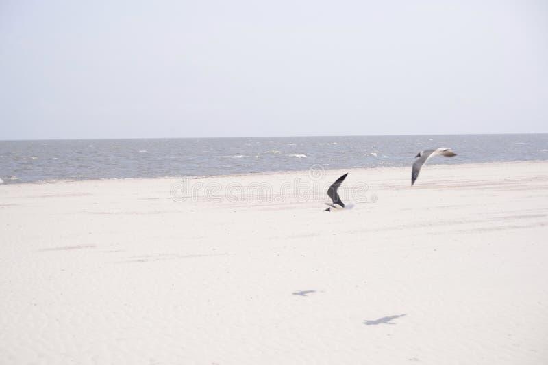 Zeemeeuwen die op een strand vliegen royalty-vrije stock afbeeldingen