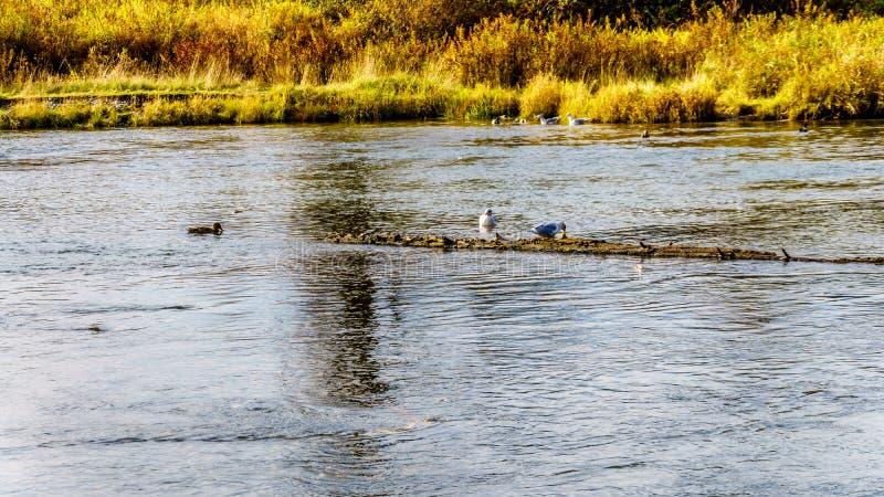 Zeemeeuwen die op het kuit schieten zalm in Stave River stroomafwaarts van de Ruskin-Dam in Hayward Lake dichtbij Opdracht scavag royalty-vrije stock fotografie