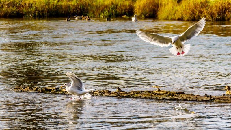 Zeemeeuwen die op het kuit schieten zalm in Stave River stroomafwaarts van de Ruskin-Dam in Hayward Lake dichtbij Opdracht scavag stock fotografie