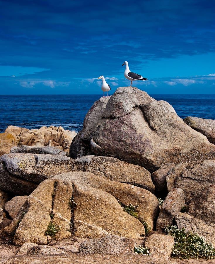 Zeemeeuwen die op rotsachtig worden neergestreken royalty-vrije stock fotografie