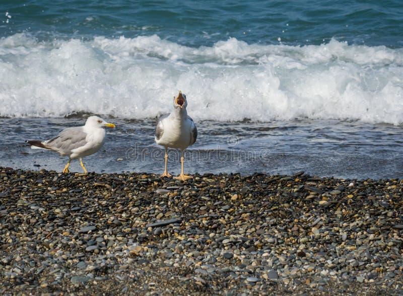 Zeemeeuwen die op strand van de Zwarte Zee in Sotchi, Rusland lopen stock afbeeldingen