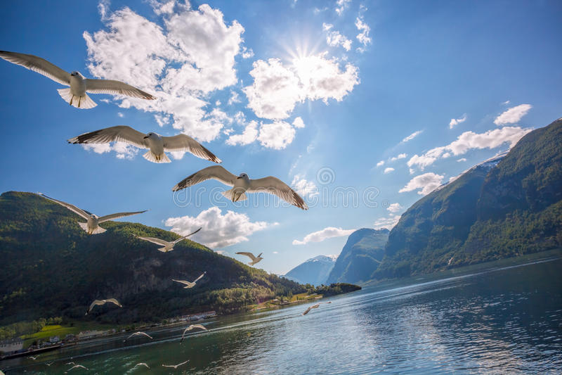 Zeemeeuwen die over Fjord dichtbij de Flam-haven in Noorwegen vliegen royalty-vrije stock afbeeldingen