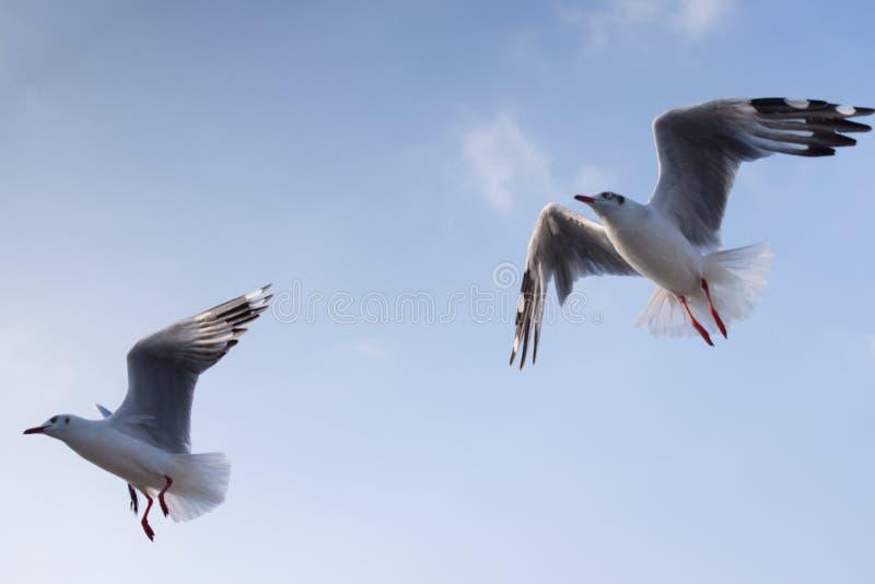 Zeemeeuwen die samen in de blauwe hemel vliegen royalty-vrije stock foto's