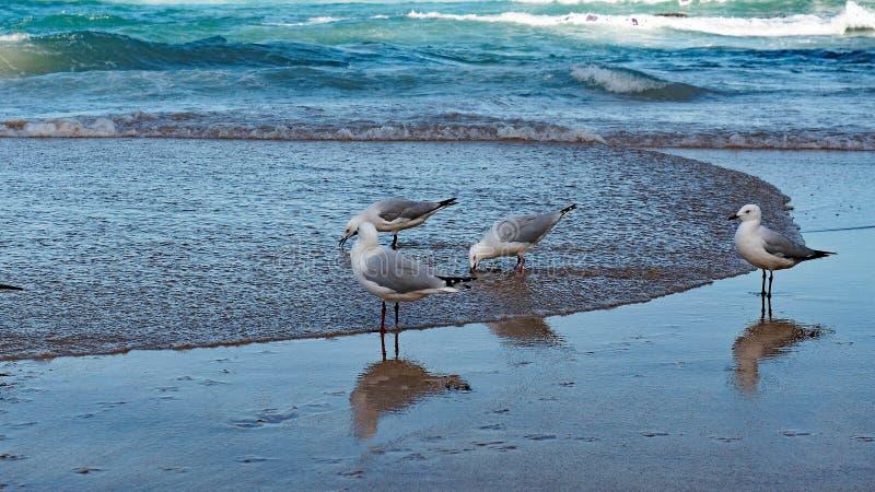 Zeemeeuwen die zich bij Waterenrand bevinden stock foto's