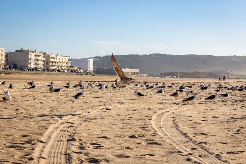 Zeemeeuwen in het zand bij Nazare-strand stock foto