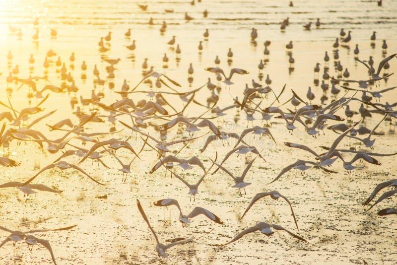 Zeemeeuwen met zonsondergang bij Klappu strand Samutprakarn stock foto's