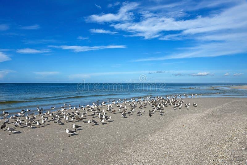 Zeemeeuwen op de Mooie Kustlijn van Florida stock afbeeldingen