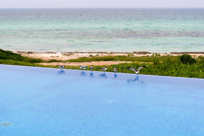 Zeemeeuwen op de zwembadrand, Cayo Guillermo, Cuba stock fotografie