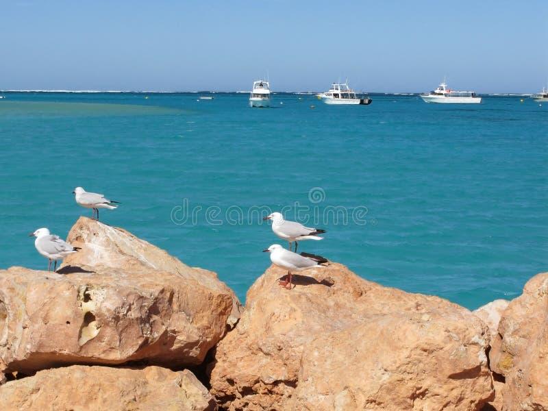 Zeemeeuwen op een rots stock foto