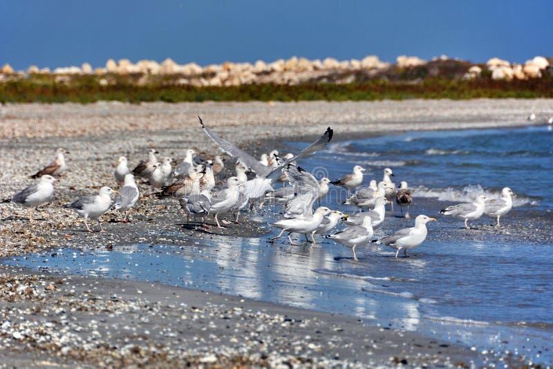 Zeemeeuwen op het strand stock afbeeldingen