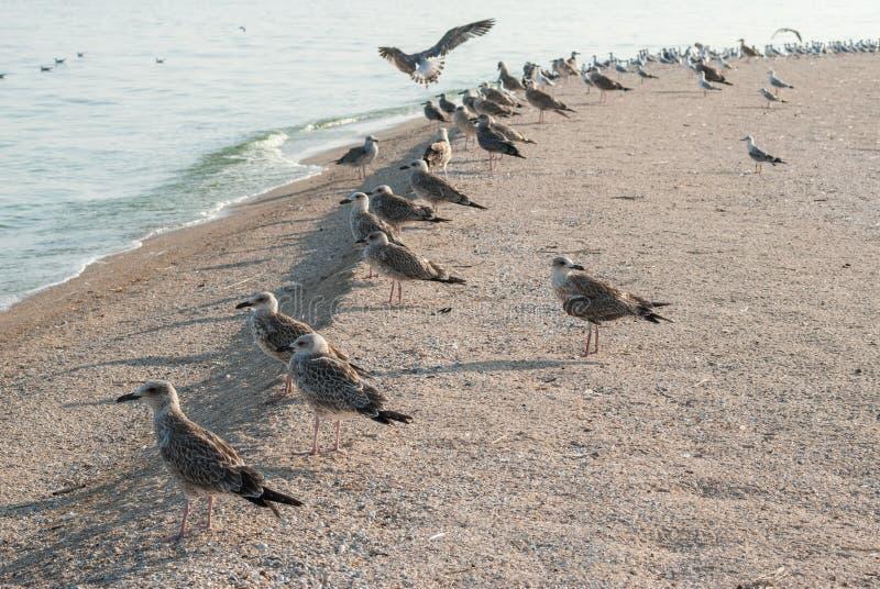 Download Zeemeeuwen op het zand stock afbeelding. Afbeelding bestaande uit dieren - 33268895