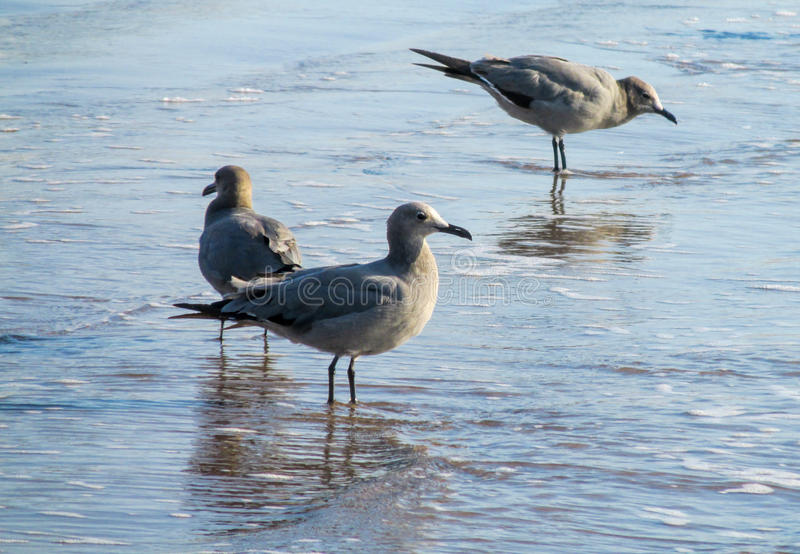 Zeemeeuwen op overzees strand royalty-vrije stock afbeeldingen