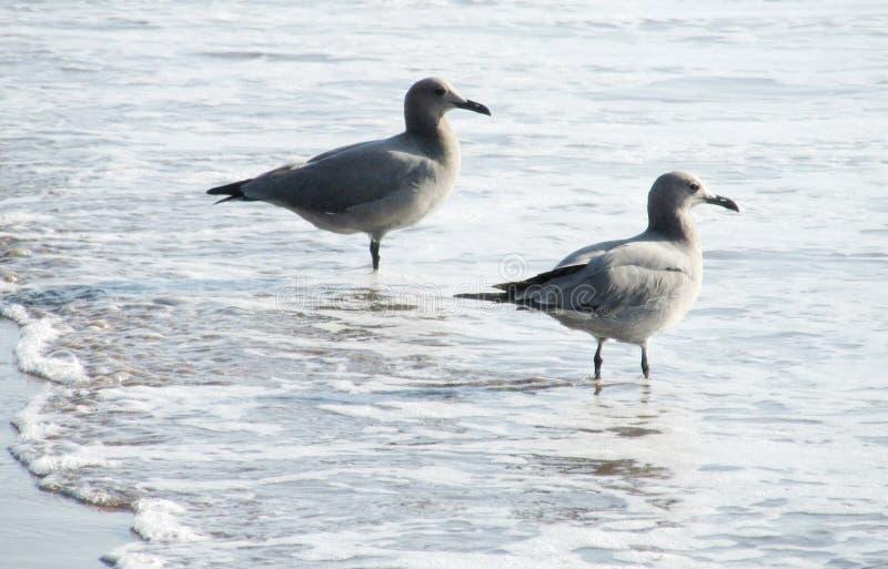 Zeemeeuwen op overzees strand in golven stock fotografie