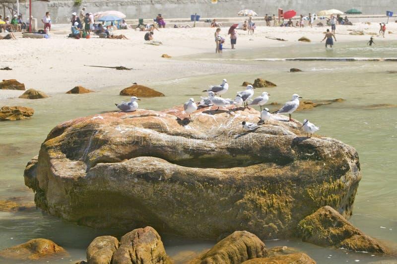 Zeemeeuwen op rots bij St James, Valse Baai op Indische Oceaan, buiten Cape Town, Zuid-Afrika stock foto