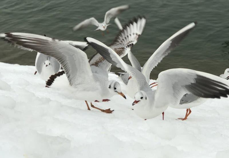 Zeemeeuwen op sneeuw dichtbij het meer royalty-vrije stock afbeeldingen