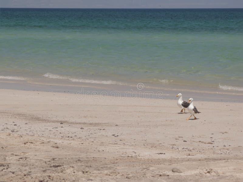 Zeemeeuwen op strand royalty-vrije stock foto