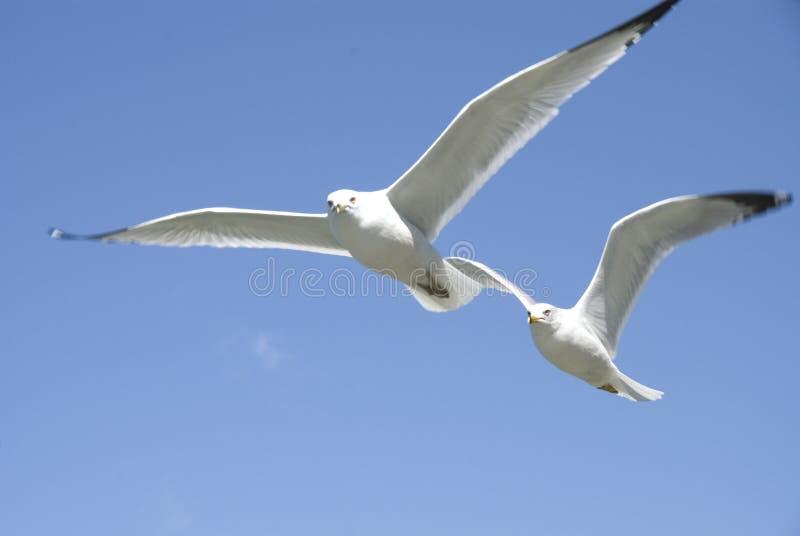 Zeemeeuwen tijdens de vlucht stock fotografie