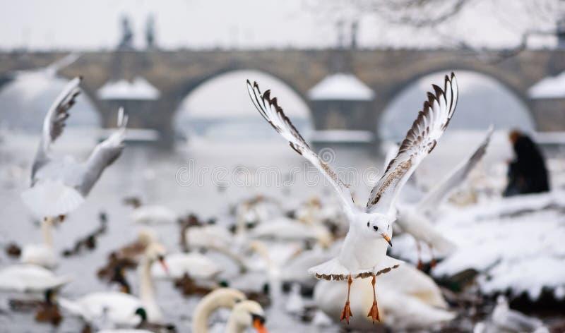 Zeemeeuwen tijdens de vlucht dichtbij Charles Bridge in Kampa in Praag stock foto