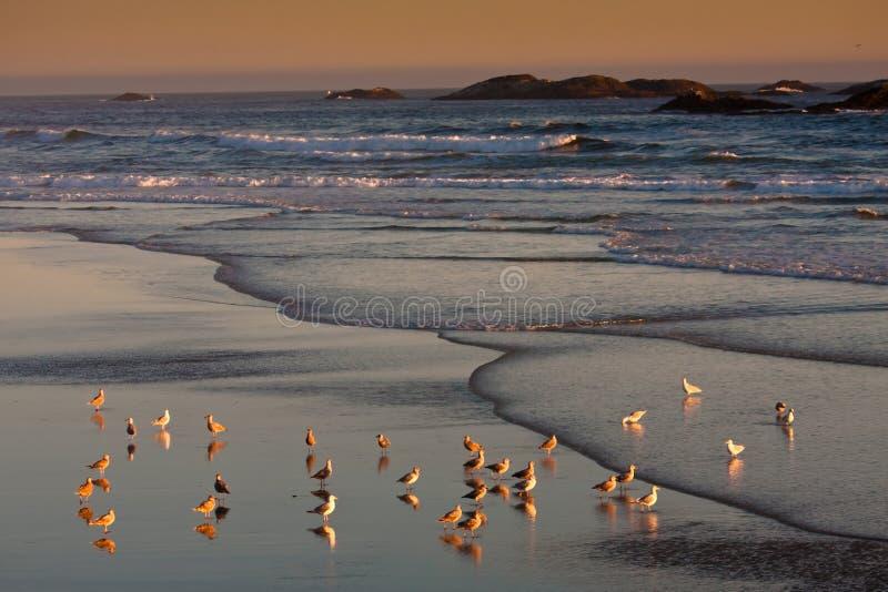 Zeemeeuwen tijdens de zonsondergang van Vreedzame Rand royalty-vrije stock foto
