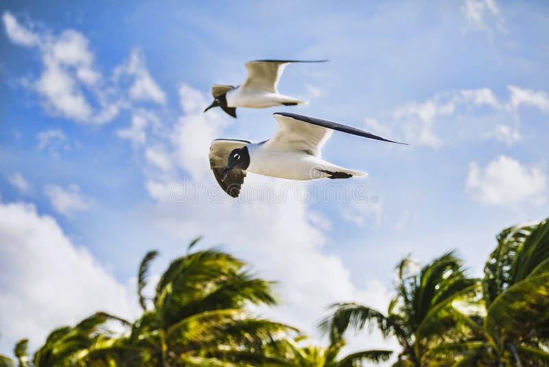 Zeemeeuwen tijdens sterke wind tijdens een branding Cuba, de Atlantische Oceaan royalty-vrije stock afbeelding