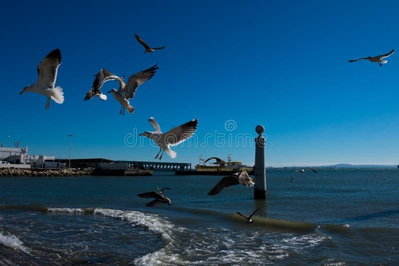 Zeemeeuwen vliegen die wachten worden gevoed Tagusrivier royalty-vrije stock foto